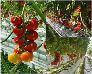 hydroponics tsev cog khoom