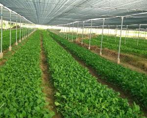 գյուղատնտեսական ջերմոցային